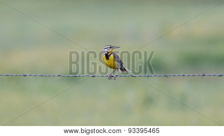 Western Meadowlark on barbed wire