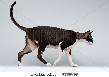 Walking Cornish Rex Cat on White