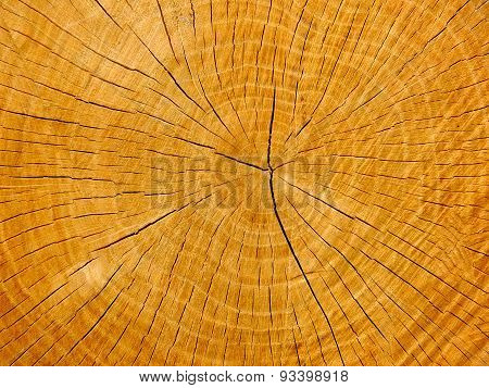 An oak's cross-section