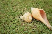 pic of conch  - conch shell on a background of green grass - JPG