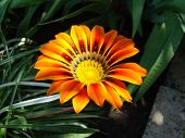 pic of drought  - gazaniasolar flower drought resistant plant that will decorate any flower bed  - JPG