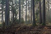 image of coniferous forest  - Coniferous stand of Bialowieza Forest in morning with pine and spruce some lying broken - JPG