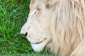 picture of african lion  - The white lion is a rare color mutation of the African Lion Panthera leo krugeri originally from the Timbavati area of South Africa - JPG