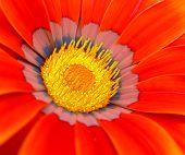 Red Gazinia Flower
