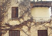 foto of creeper  - Closeup exterior facade of the old house with dry creepers - JPG