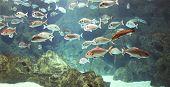 image of shoal fish  - Underwater world shoal of many marine shiny silver fishes - JPG
