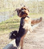 foto of yorkshire terrier  - Cute yorkshire terrier dog playing outdoors in the park - JPG