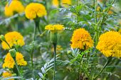 image of marigold  - Marigold  flowers field - JPG