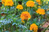 picture of marigold  - Marigold  flowers field - JPG