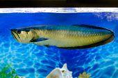 stock photo of freshwater fish  - Image Arovana tropical freshwater fish in the aquarium - JPG
