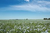 pic of flax plant  - blooming blue flax in a farm field and light clouds in the blue sky - JPG
