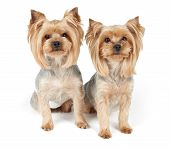 image of yorkshire terrier  - Two Yorkshire Terriers after grooming isolated on white - JPG