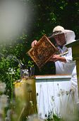picture of inspection  - Experienced senior apiarist making inspection in apiary in the springtime - JPG