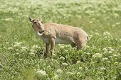 foto of steppes  - female saiga antelope stands in the steppe and smiles - JPG