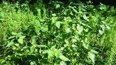 pic of nettle  - Common forest flora - JPG