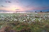 picture of swamps  - sunrise over swamp with cottongrass North Brabant Netherlands - JPG