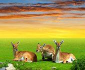 image of antelope  - Herd of Red lechwe antelope at sunset - JPG