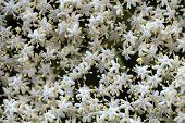 stock photo of elderberry  - Marco photo of Black Elderberry flowers (Sambucus nigra). ** Note: Visible grain at 100%, best at smaller sizes - JPG