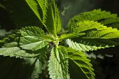 pic of sting  - Macro photo of a Stinging Nettle (Urtica dioica).