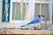 picture of blue jay  - Blue Jay (Cyanocitta cristata) at a backyard feeding station on a cold winter day ** Note: Soft Focus at 100%, best at smaller sizes - JPG