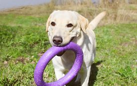 picture of toy dogs  - Labrador retriever dog playing with rubber toy on the grass - JPG