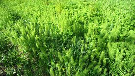 pic of horsetail  - Green common horsetail field on the forest edge - JPG