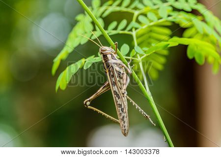 Brown grasshopper caught on green branches in garden.