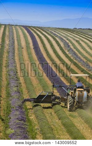 Lavender harvest in Provence south of France. in Provence south of France.