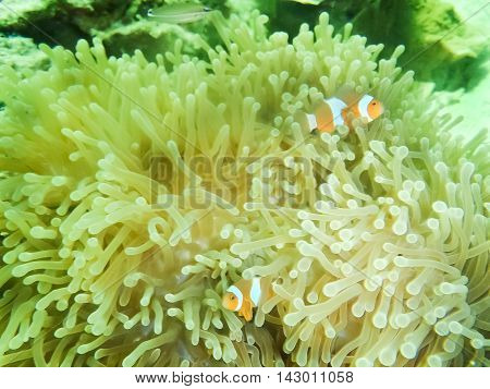 Clown Anemonefish, Amphiprion percula, swimming among the tentacles of its anemone home. Thailand. Andaman Sea