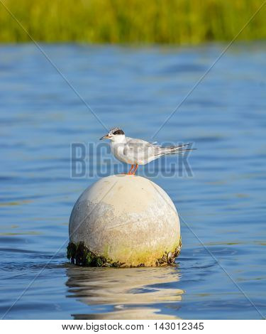 This is a Royal Tern on a Crab Trap Buoy.