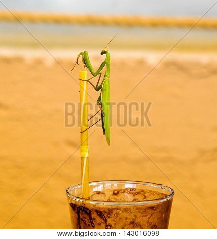 green praying mantis on a drinking straw on coffee cup. Mantis religiosa