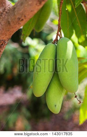 Mango having an acid taste like lemon