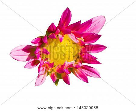 Isolated Pink Flower With Yellow Pollen, Dalia