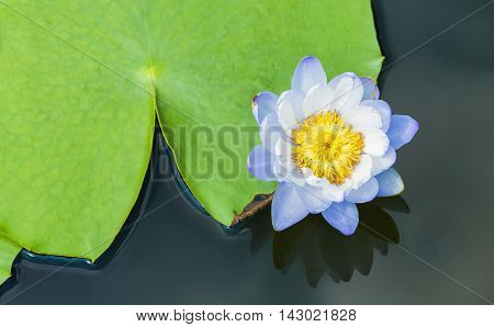 Blossom blue water lily with yellow pollen floating close to big green leaf on flat water