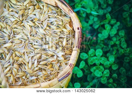 basket with oats outdoors. organic oats in a basket on a background of green clover
