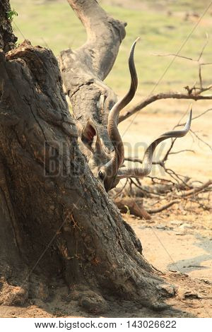 Kudu antelope hiding behind a tree and its organs like branches Kenya