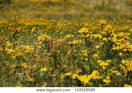 A field of yellow flowers. In the foreground a closeup of clear yellow flowers and in the background blurry yellow flowers