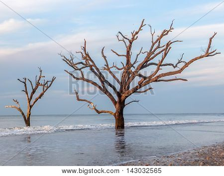 This is a picture of two trees growing out of the surf at Driftwood Beach, Edisto Island, SC.