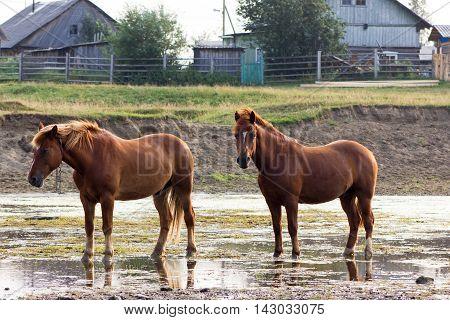 Rural Landscape With Horses