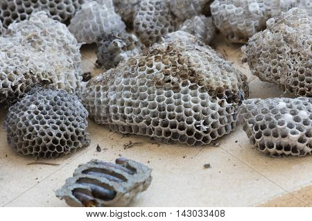 a dried nest of bees and cicadas