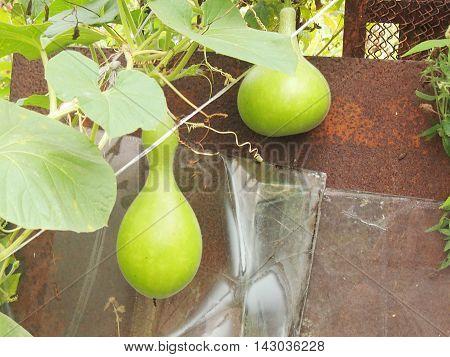 the lagenariya fruits growing on long lashes