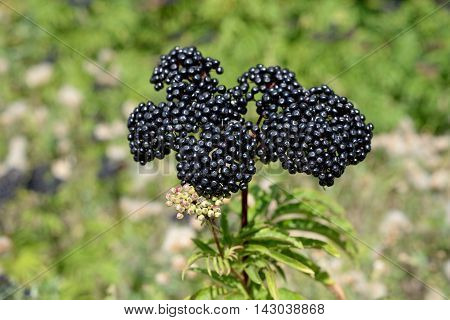A cluster of elderberries on the branch