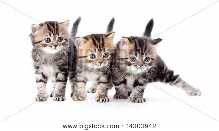 Three Kittens Striped Tabby Isolated
