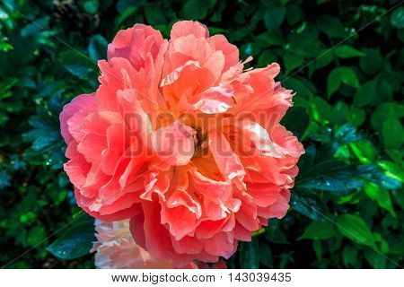 Salmon pink peony head in a garden.