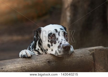 Cute sad dalmatian dog in the forest
