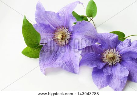 Purple clematis flower with green leaves on a white background