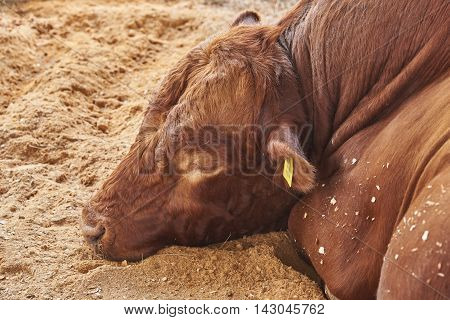 Bull with red long wavy hair on his head sleeping