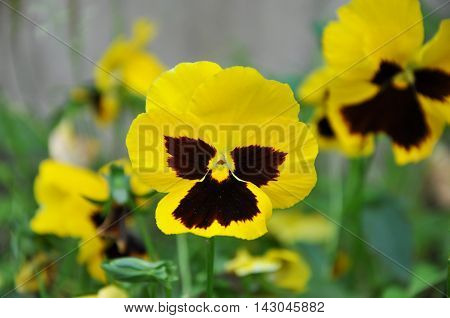 yellow violet flower. Pansy. closeup in garden city