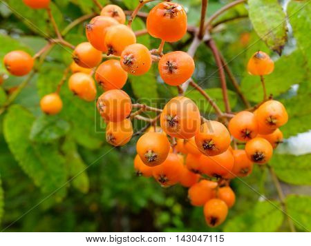 Ripening Rowan berries grow in clusters on the tree. Useful edible berries rich in vitamins. Harvest of wild fruits.