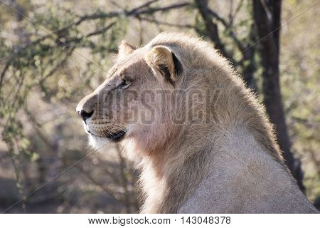 picture of a male lion in Madike game reserve in South Africa.